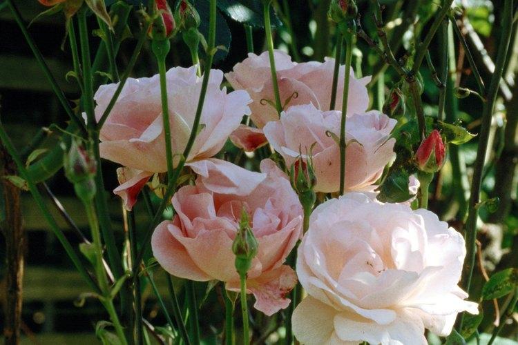 Puede llevarte tres años para que tu nuevo rosal se establezca.