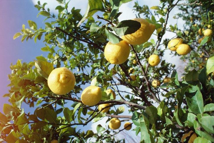 El limoncello también puede hacerse en casa.