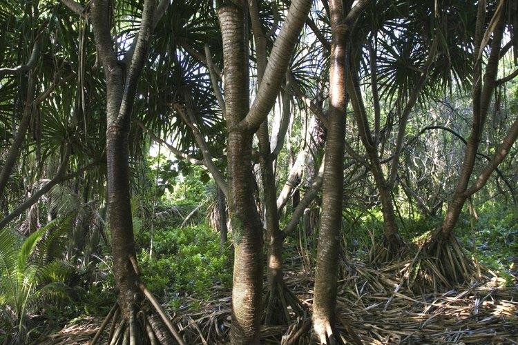 Árboles en un bosque tropical en Hawaii.