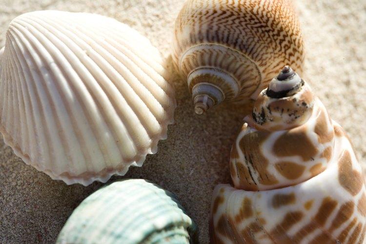 Limpia tu colección de conchas para evitar los malos olores.