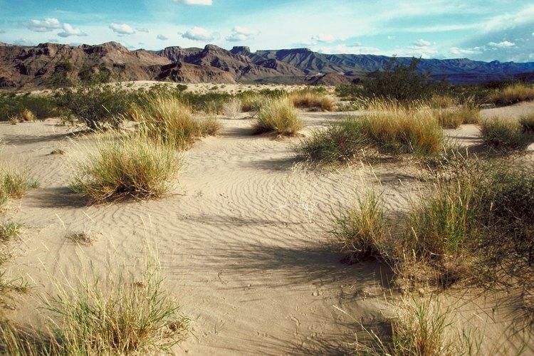Las plantas llamadas piedras vivas crecen en la arena de los desiertos.