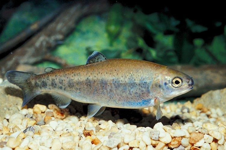 Numerosas clases de peces se encuentran en los lagos del Stone Mountain Park.