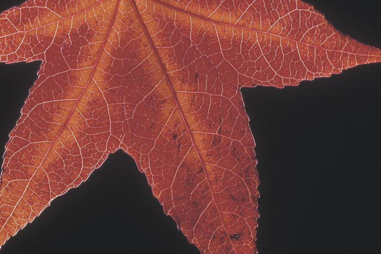 Las hojas de arce y de liquidámbar pueden confundir a algunos seguidores de plantas.