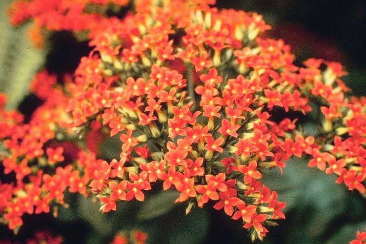 La planta kalanchoe crecerá durante muchos años si logras las condiciones adecuadas.