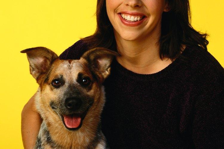 Los cachorros blue heeler viven vidas felices y saludables cuando se mantienen en casas suburbanas.