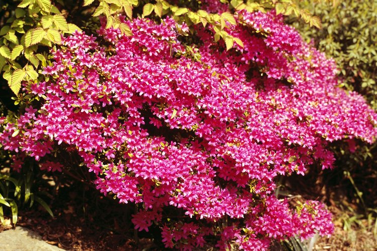 Las azaleas requieren menos fertilizantes que muchos otros arbustos.