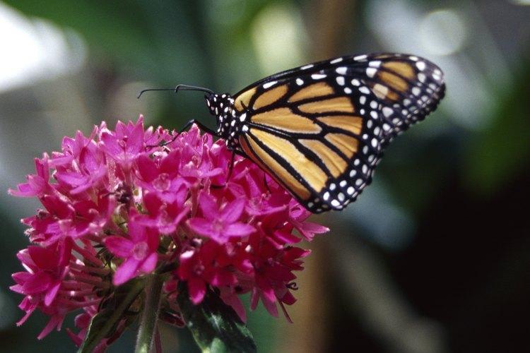 Las mariposas monarca solo viven de dos a seis semanas.