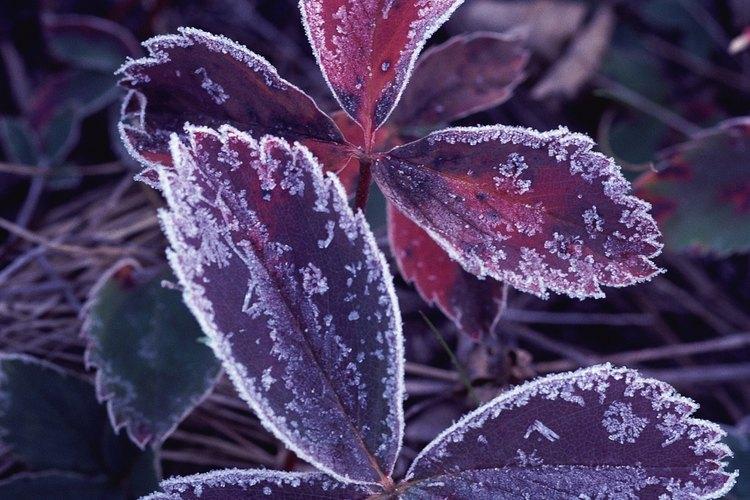 Las temperaturas bajo cero pueden hacer que las células de la planta se congelen, se rompan y se sequen.