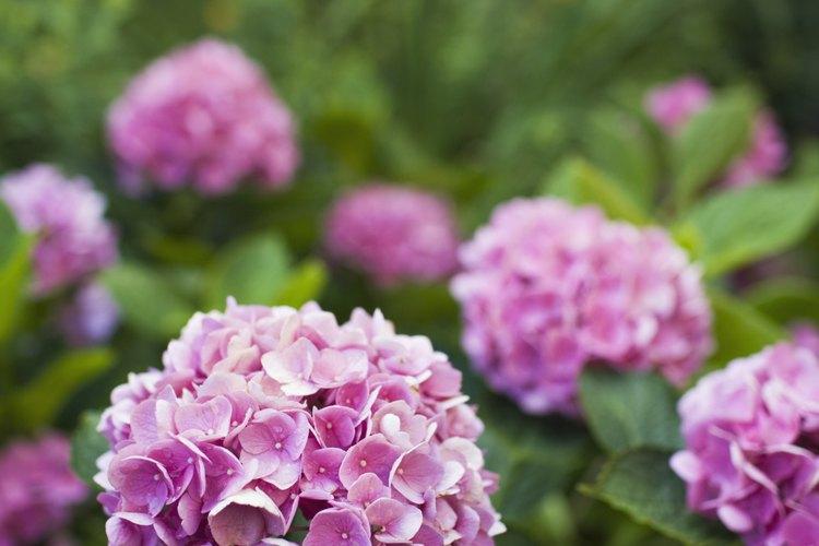 La luz insuficiente puede reducir la floración.