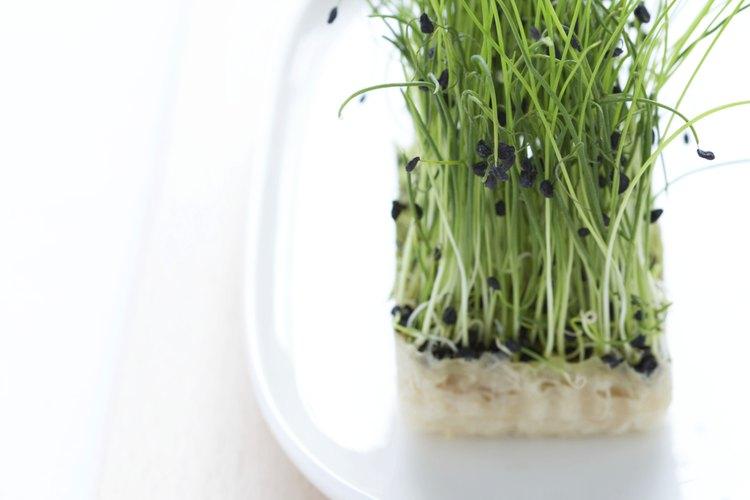 La alfalfa es rica en nutrientes y se transforma en un buen té.