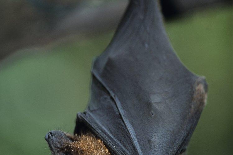 Los murciélagos pueden ser una molestia para los propietarios de viviendas.