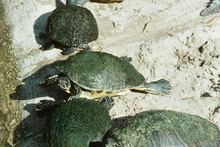 El promedio del tiempo que vive una tortuga es de 80 años.