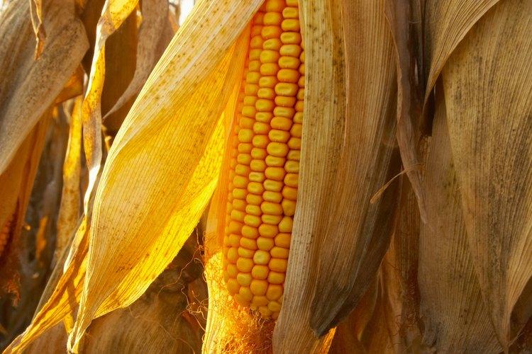 A medida que el maíz se seca, almacena nutrientes para el vástago.