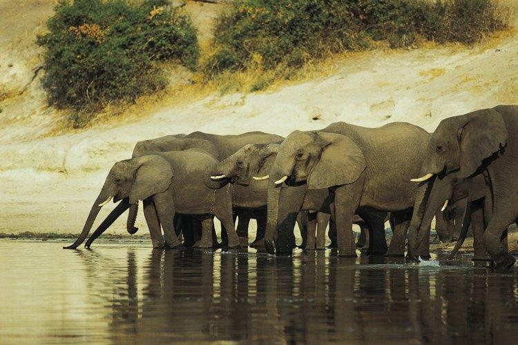 La migración de los elefantes africanos depende tanto de las condiciones creadas por el hombre como de las naturales.