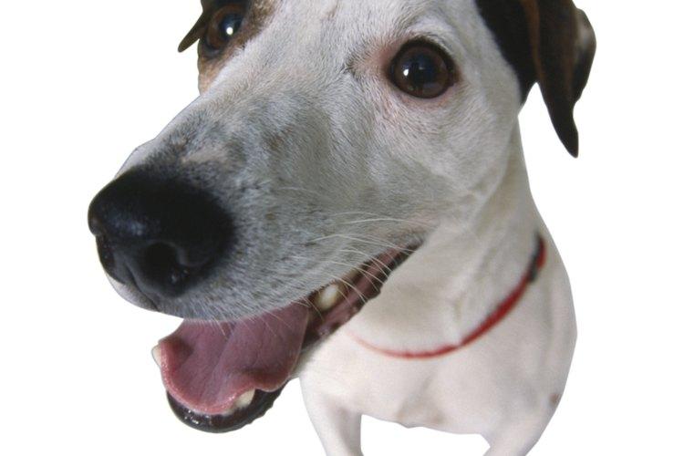 Verrugas en los perros.