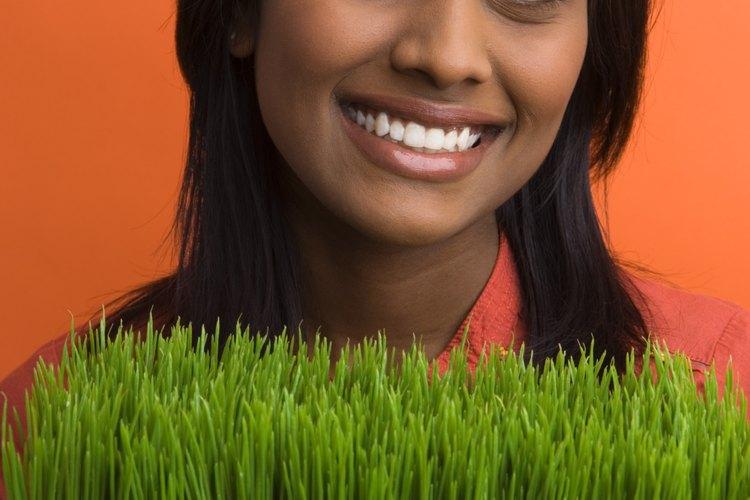 El forraje puede ser fácilmente cultivado en bandejas.