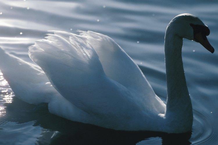 Los cisnes vulgares se alimentan principalmente de vegetación acuática.