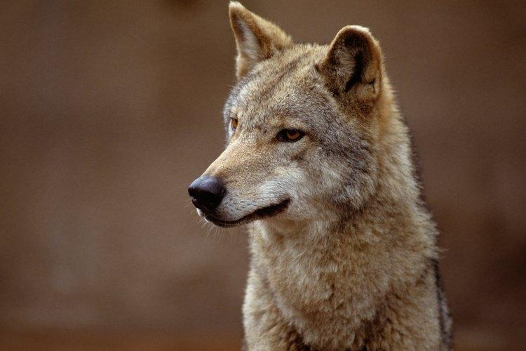 Los jóvenes zorros rojos se parecen a los coyotes.