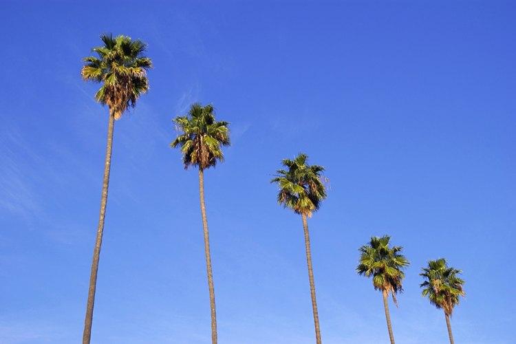 Las altas palmeras de abanico mexicanas adornan muchos bulevares del sur de California y los paisajes de los parques temáticos de la Florida Central.