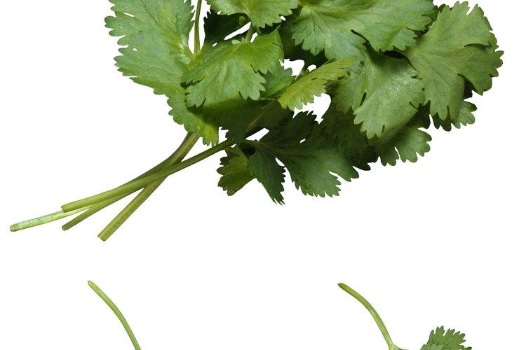 El cilantro es bastante común en los Estados Unidos, pero el culantro aún es relativamente desconocido.