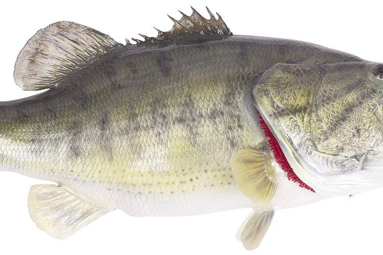 Los pescadores usan carrete para lanzar para especies como el róbalo.