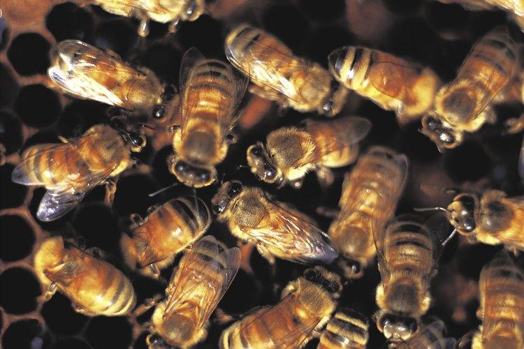 Eliminar un enjambre de abejas debe hacerse de manera profesional.