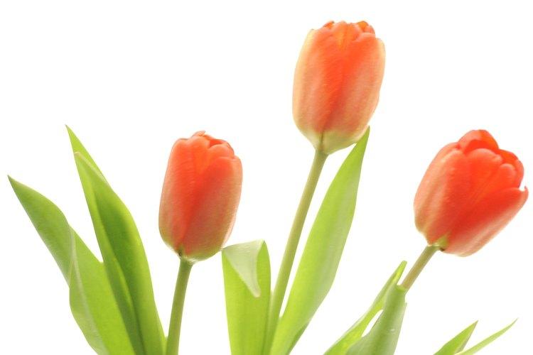 Los tulipanes crecen en forma silvestre en Asia Central.