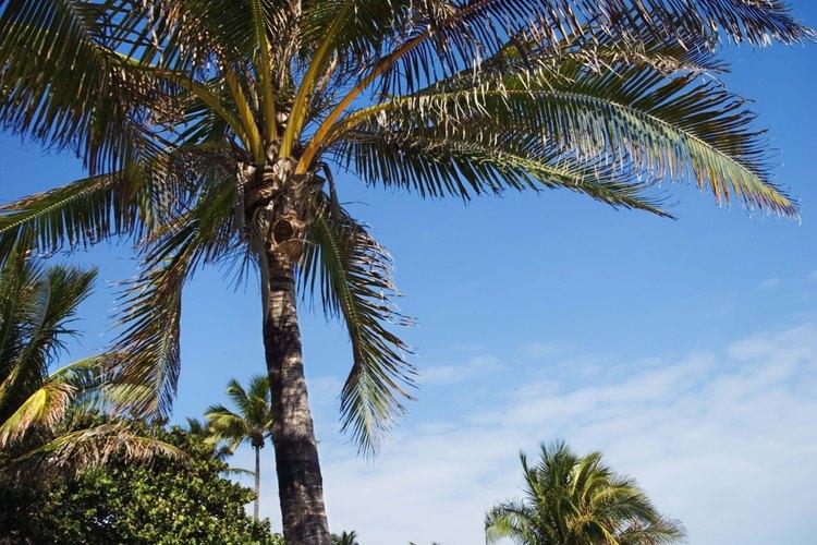 Las palmeras de cocos crecen relativamente rápido en condiciones soleadas y secas.