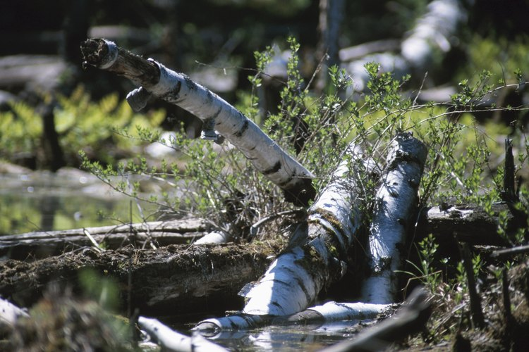 Vegetación en descomposición en un histosol.