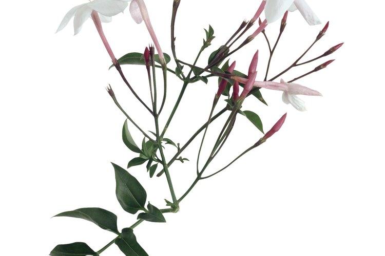 Hasta cuando no está en floración, los jazmines son un adorno en un paisaje.