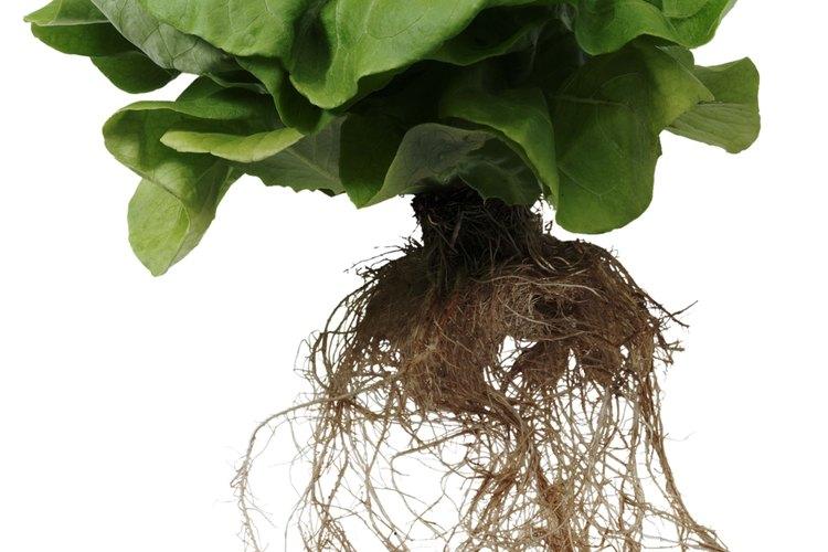 Si plantas la lechuga directamente en el jardín, existe la posibilidad de que las aves o alguna otra especie se la coma.