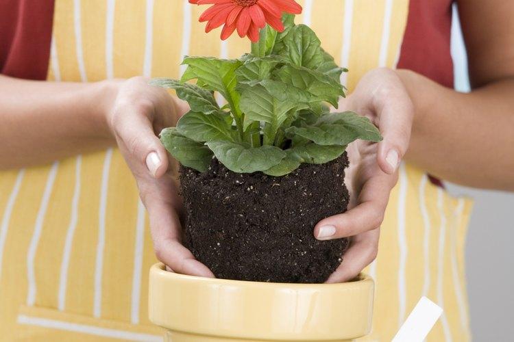 Golpea suavemente la maceta hasta que la planta se deslice hacia afuera.