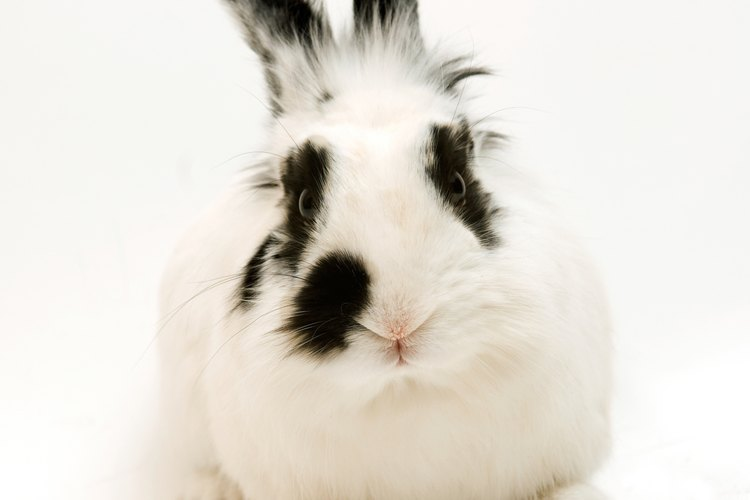 Debes recortar el pelo de tu conejo para que no se formen nudos, y así mantenerlo saludable.