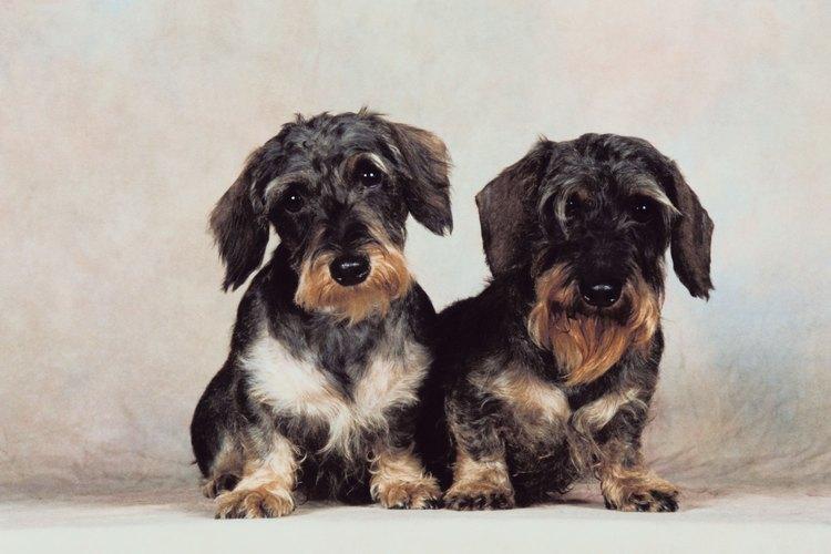 Los dachshund pelo de alambre son una variedad rara de los dachshunds.