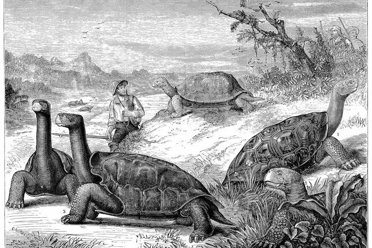 Las tortugas Galápagos son una especie de las islas del mismo nombre.