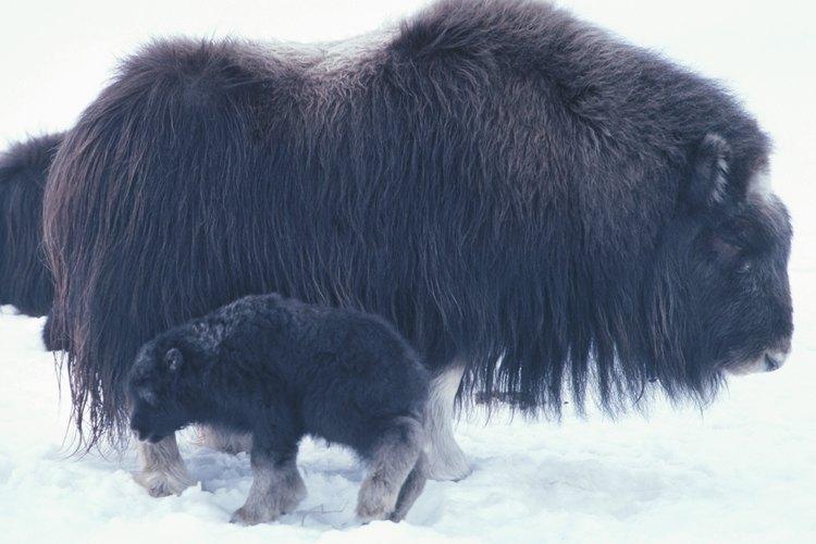 El buey almizclero se adaptó a la tundra fría con el crecimiento de una doble capa de pelo.