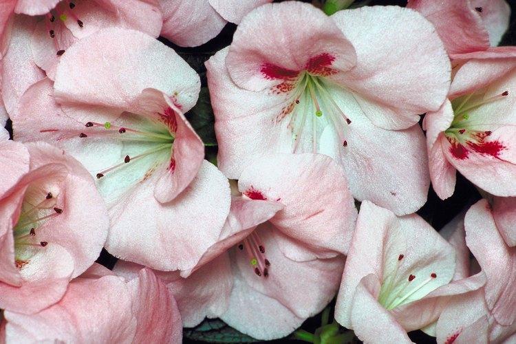Los bonsais de azalea son comunes.