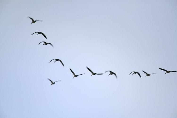 El ave lira es una imitadora extraordinaria.