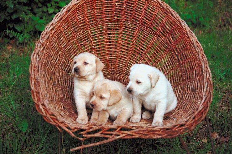 Los cachorros de perdiguero labrador necesitan mucho calcio durante su crecimiento.
