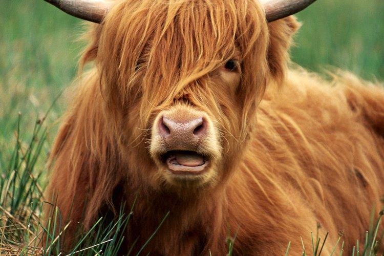 En áreas donde el ganado y otros animales de pastoreo están presentes, la grama les sirve como una importante fuente de nutrientes naturales.
