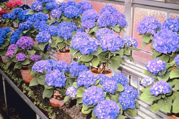 Hortensias violetas en macetas.