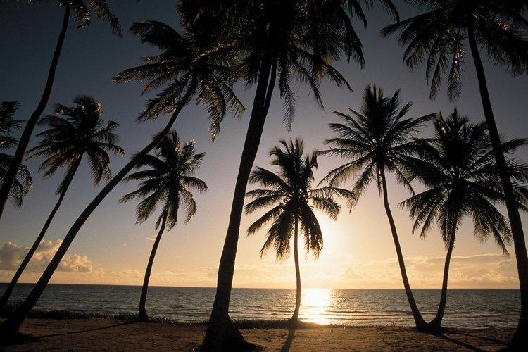 Palmeras en la isla de Andros, Bahamas.
