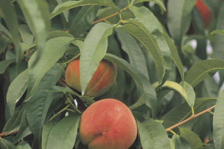Los árboles frutales sobreviven la mayoría de las enfermedades, pero puedes perder la cosecha entera.