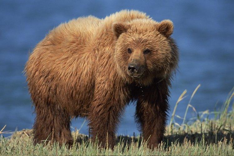 Un oso marrón en busca de peces en una roca del río.