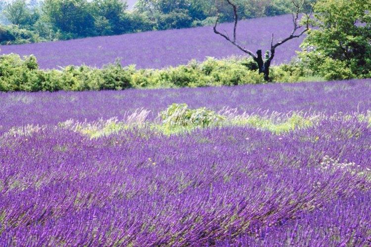 La lavanda es uno de los cultivos principales del sur de Francia.