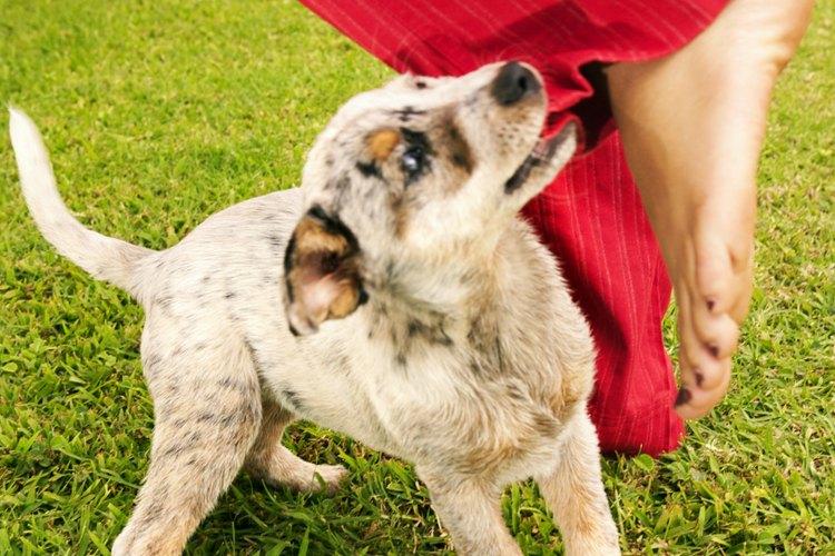 Síntomas de dentición en cachorros