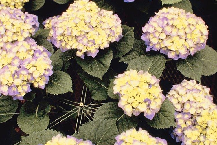 Usa alumbre para que las hortensias cortadas no se marchiten.