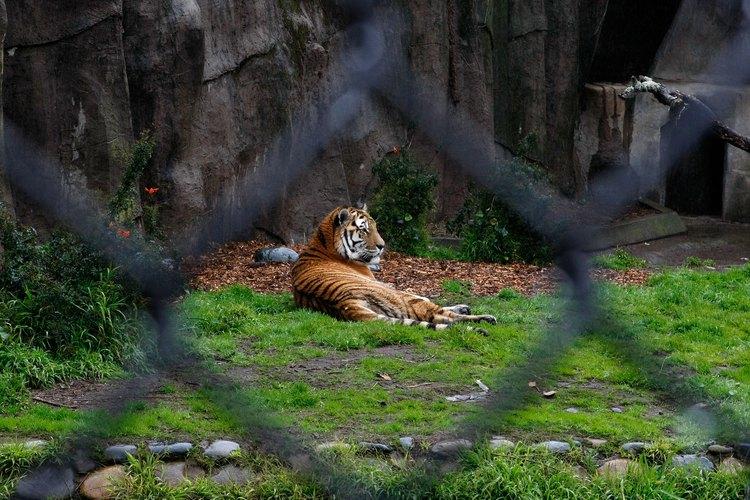 Obtén los permisos estatales y federales para habilitarte a cuidar de un tigre en tu propiedad.