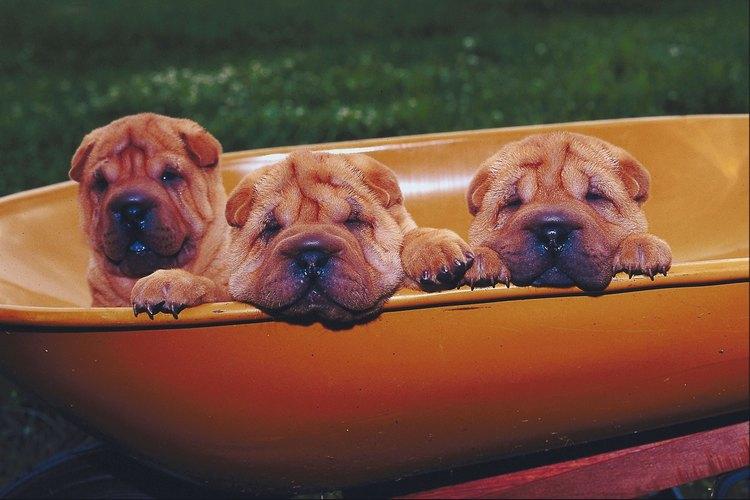 Los Shar-Pei cachorros son adorables, pero los adultos no se reconocen tan fácilmente porque las arrugas desaparecen.