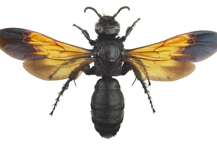 Algunas avispas se reproducen por métodos sexuales y asexuales.